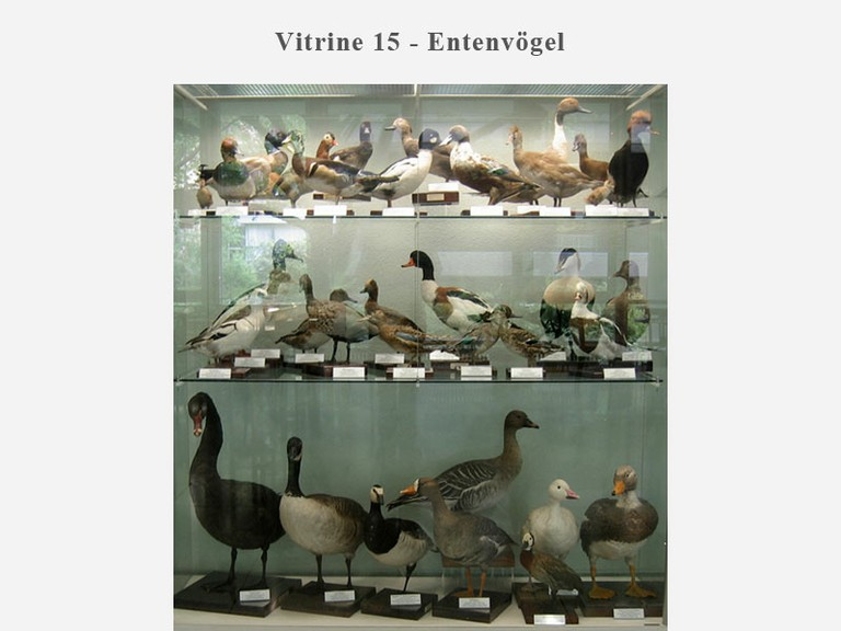 Vitrine 15 - Entenvögel - small