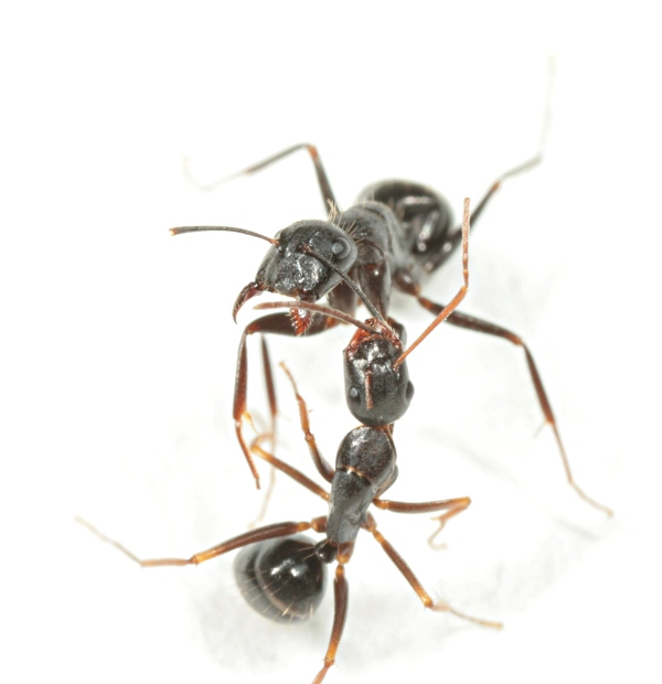 Fighting Camponotus workers