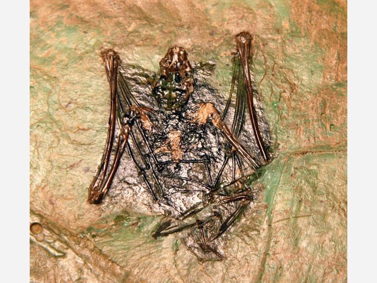 Vitrine 1 - Fossil - Fledermaus - small