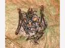 Vitrine 1 - Fossil - Fledermaus - thumbnail