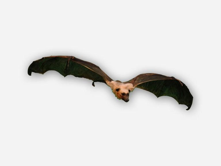 Vitrine 1 - Flugfuchs - Pteropus spec. medius? - small