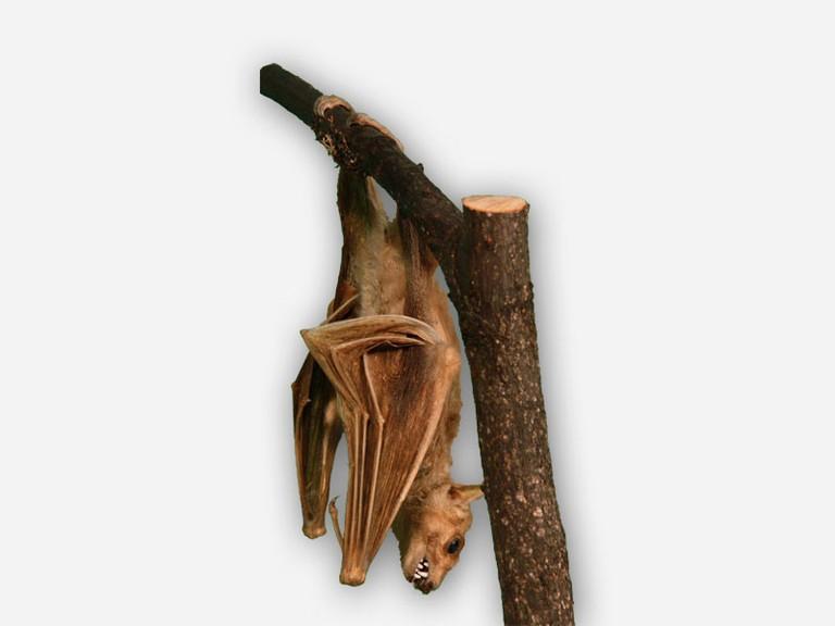 Vitrine 1 - Flughund-Nilflughund - Rousettus aegyptiacus - small