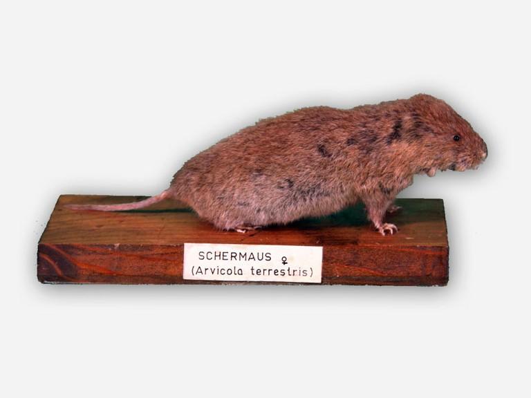 Vitrine 2 - Schermaus - Arvicola terrestris L. - small
