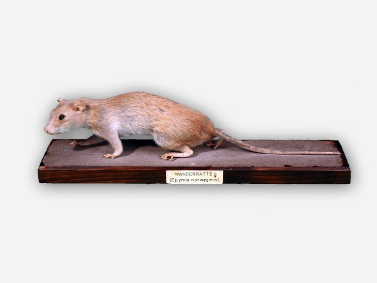 Vitrine 2 - Wanderratte - Rattus norvegicus Berk. - small